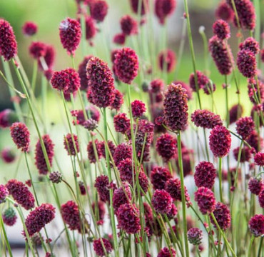Sanguisorba 'Proud Mary'