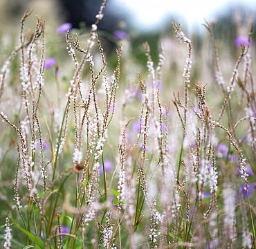 Persicaria Bistorta amplexicaulis 'Alba'