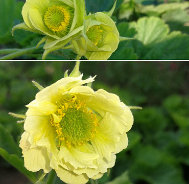 Geum rivale 'Tales of Hex'