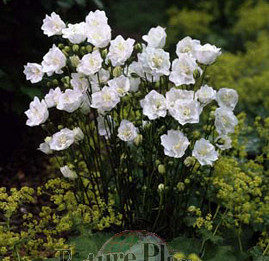 Campanula percifolia 'La Bonne Amie'