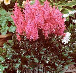 Astilbe 'Lollypop'