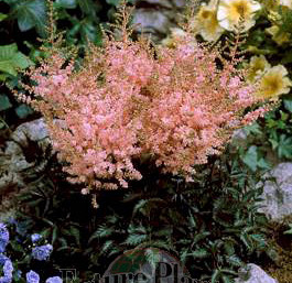 Astilbe 'Touch of Pink'