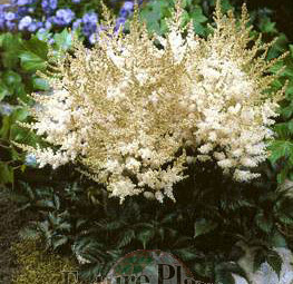 Astilbe 'White Wings'