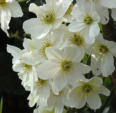 Clematis Cartmanii 'Avalanche'