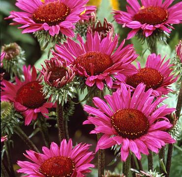Echinacea purp. 'Vintage Wine'