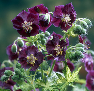 Geranium 'Springtime'