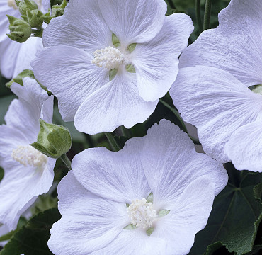 Lavatera 'White Satin'