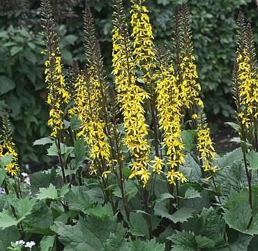 Ligularia 'Little Rocket'
