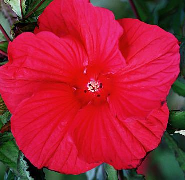 Hibiscus 'Fireball'