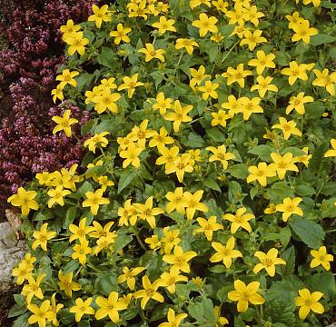 Chrysogonum virginianum 'Golden Acres'