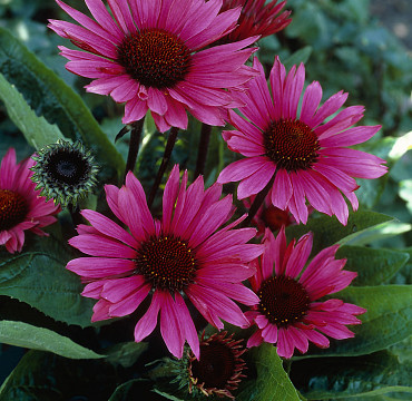 Echinacea purp. 'Fatal Attraction'