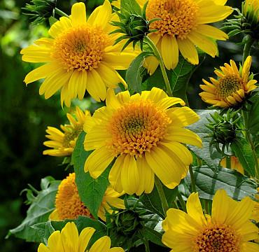 Helianthus decapetalus 'Sunshine'
