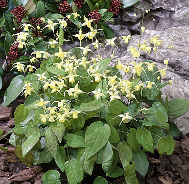 Epimedium 'Flowers of Sulpher'