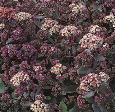 Sedum Telephium 'Moonlight Serenade'