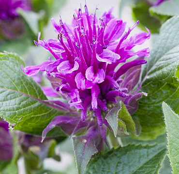 Monarda 'Purple Lace'