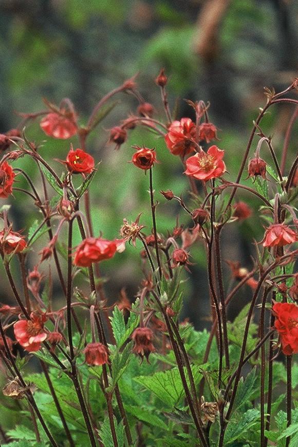 Perennial Varieties Future Plants