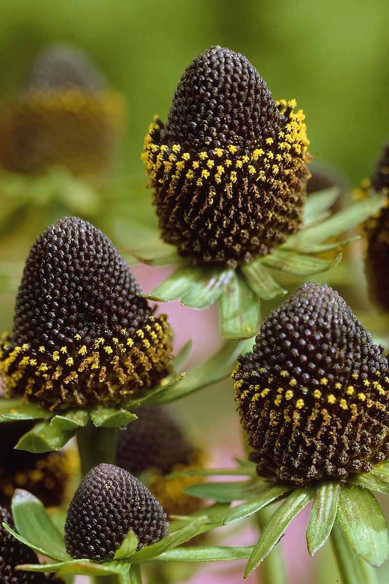 Perennial varieties future plants rudbeckia occidentalis black beauty izmirmasajfo