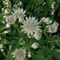 Astrantia major 'Pisa'