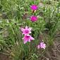 Dierama pauciflorum 'Luana'