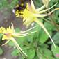 Aquilegia chrysantha var. chaplinei